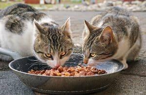 זוג חתולים אוכלים