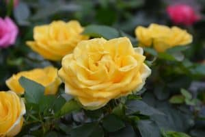 וורד צהוב